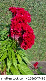 A big scarlet red cockscomb (Celosia argentea var. cristata) inflorescence with light green leaves in a sidewalk with an ivy-covered wall in the background.
