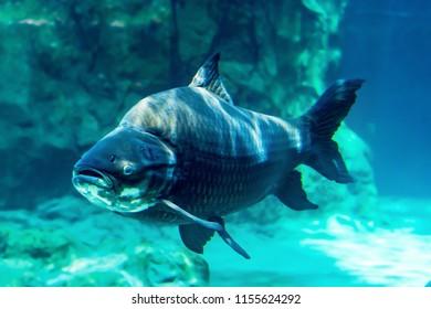 Big scary fish in the aquarium