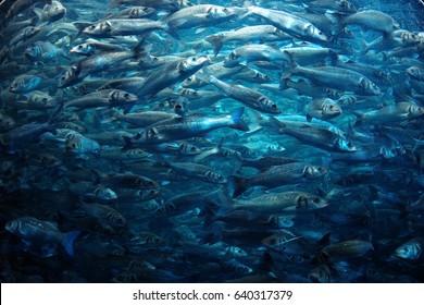 big school of fish