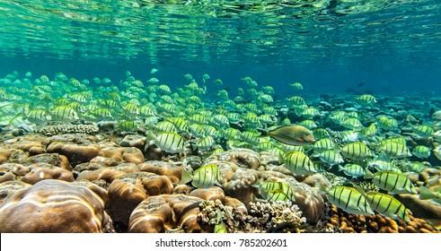 Big school of fish inThe Indian Ocean, Maldives