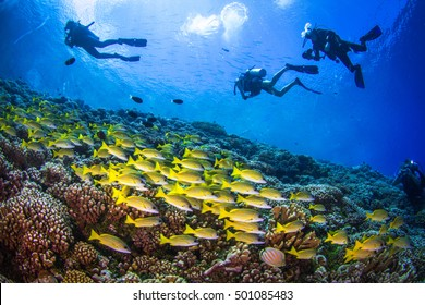 Big school of Yellowfin goatfishes (Mulloidichthys vanicolensis) above the coral reef of Fakarava, with silhouettes of divers on the blue. French Polynesia.