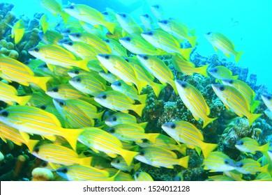 A Big School of Yellowtail Snapper Fish