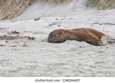 Big Sea lion on the beach of New Zealand