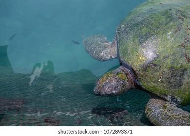 Big sea turtle