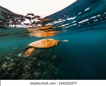Big sea turtle floating underwater close to surface of water over coral reef, Moalboal, Cebu islands, Philippines