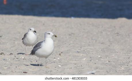 big seagull on the beach