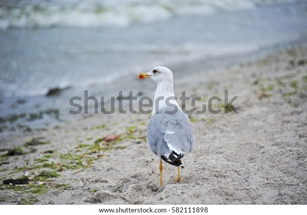 Big seagull on sand at seashore near the water