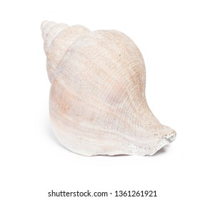 Big seashell in close-up isolated on white background