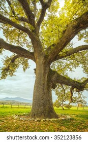 Big and secular oak tree on a green meadow. Tuscany, Italy Europe.