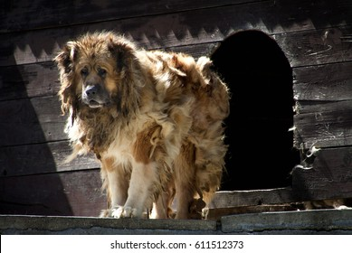 Big security shepherd dog in front of his cage