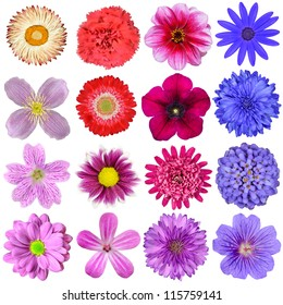 Big Selection of Colorful Flowers Isolated on White Background. Various Red, Pink, Purple, White Colors including rose, dahlia, marigold, zinnia, strawflower, sunflower, daisy, primrose and other