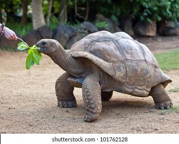 Big Seychelles turtle eat.  La Vanille Reserve park. Mauritius