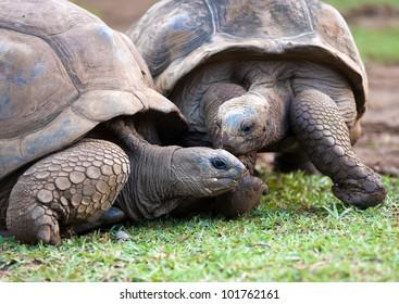 Big Seychelles turtle in La Vanille Reserve park. Mauritius.