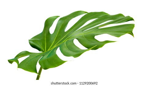 big shiny leaf of monstera plant isolated on white background