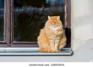 Big Siberian cat sitting by the window.
