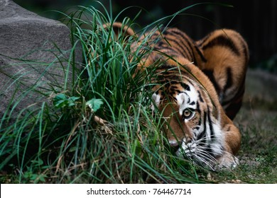 Big Siberian Tiger Hunting in the Russian National Park