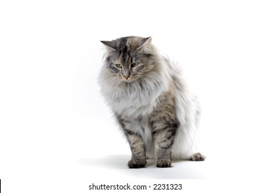 big silver norwegian forest cat looking down