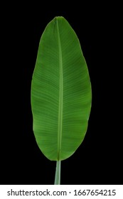 Big size of Banana Leave and Shoot with Solid Black Background- Musaceae sp