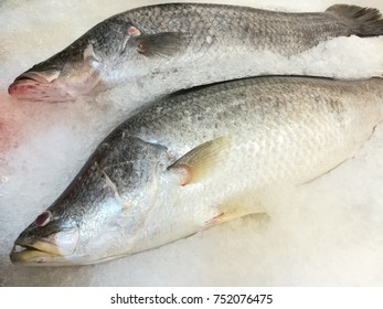 Big size white sea snappers fish chilled on crushed ice.