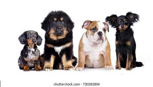 Big and small dog, dachshund and Tibetan mastiff, buldog, toy