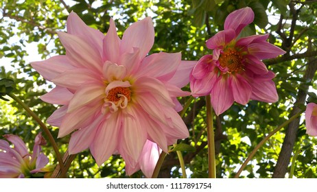 Big and small pink Dahlia from San Jose, CA