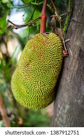 Big smelly durian fruit from Thailand. Green tree fruit and plant from South Asian jungle. Forbidden in plane because of the strong odour.
