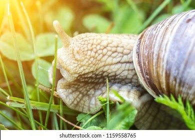 Big snail in the grass, macro, sun, cochlea and macrophotography