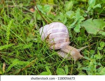 Big snail with green grass, close-up, cochlea and animal, natural