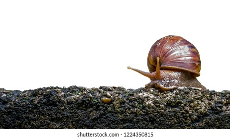 Big snail isolated in shell crawling on road, summer day in garden, A common garden snail climbing on a stump, edible snail or escargot, is a species of large, edible, air-breathing la