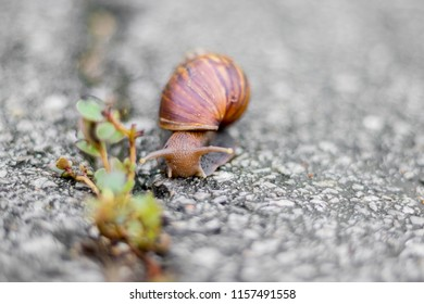 Big snail in shell crawling on road in the morning,Big snail searching for breakfast,Big snail eating breakfast.