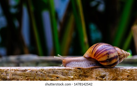 Big snail in shell crawling on road, summer day in garden, A common garden snail climbing on a stump, edible snail or escargot, is a species of large, edible, air-breathing land.