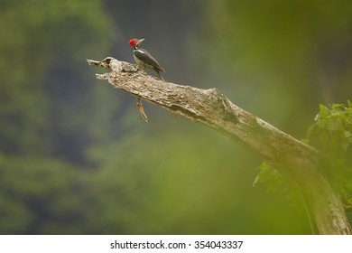 Big  south american woodpecker Dryocopus lineatus Lineated Woodpecker on old trunk looking for nest-hole. Vertical picture, diagonal composition, typical rain forest environment