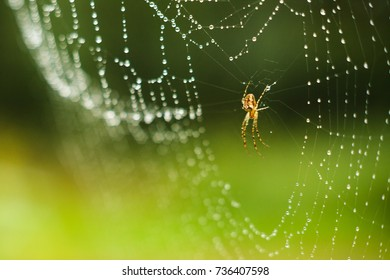 Big spider in his web in dew