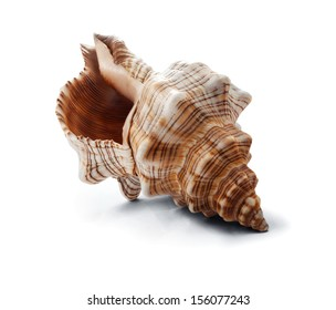 Big spiral striped seashell isolated on white.