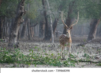A big Spotted male deer in the Sundarbans national park, famous for its Royal Bengal Tiger in Bangladesh