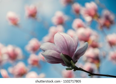 Big spring pink magnolia flower close up with other flowers and blue sky in the background