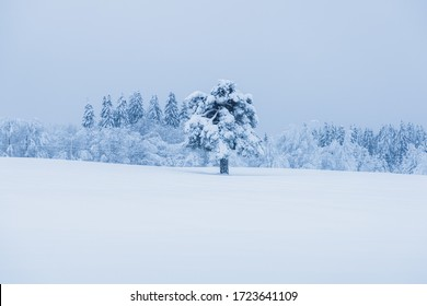 Big spruce tree standing alone on a field. Lots of snow covering the tree branches. Full winter outside.