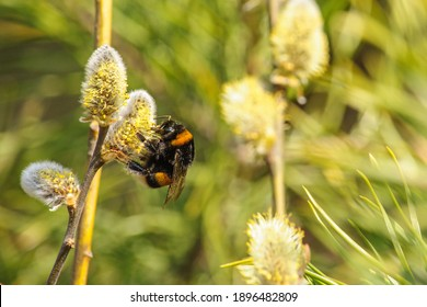 Big striped bumblebee on a branch of blossoming pussy willow close up