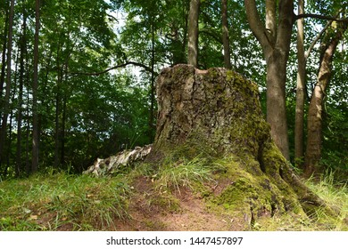 Big stub of old tree. Stub in the park. Forest in Russia in the summer. Landscape of the beautiful forest and a stub from the tumbled-down tree