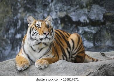 Big sumatran tiger in the zoo , KhoKeaw open zoo , Chonburi , Thailand