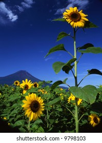 A big sun flowers field near Mount Fuji