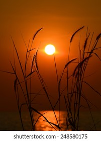 big sun , sunset and GRAMINEAE silhouette Rim Light