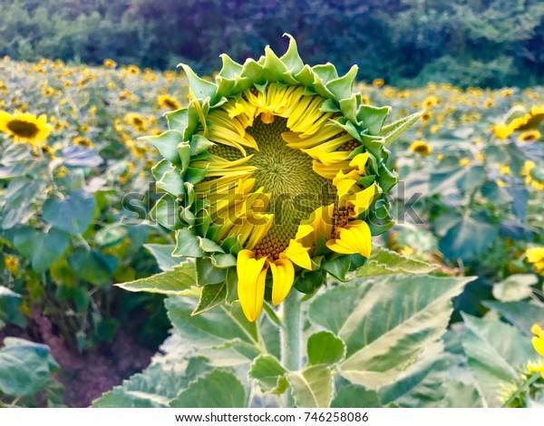 big sunflower in the garden