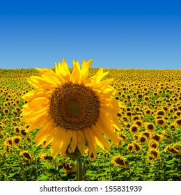 A big sunflower standing on a field of sunflowers, in the south of France.