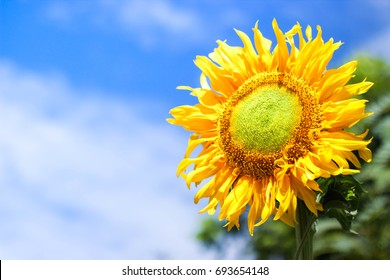 The big sunflowers are beautifully blooming with bright blue sky, with white clouds floating around.
