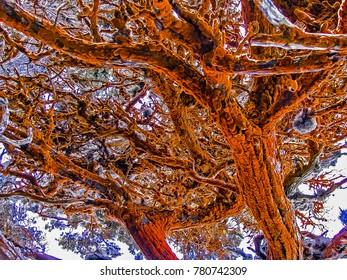 Big Sur, CA USA - Point Lobos State Park - Cypress Grove Orange Algae Trees