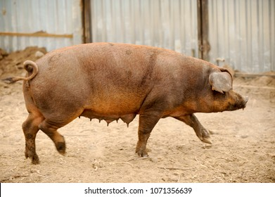 Big swine of Duroc's breed in yard. Concept of small pig farms in southern Russia