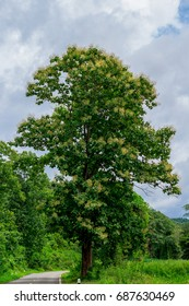 The big tall teak tree with fresh leaf and yellow flowers on the top at the road side and others trees with the light blue sky and white cloud.