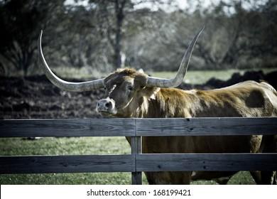 Big Texas Longhorn steer/bull looking over fence (tone variation