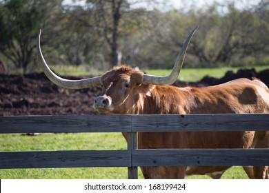 Big Texas Longhorn steer/bull looking over fence